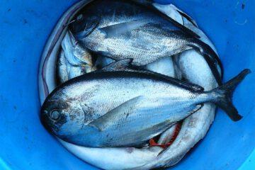 Feederfischen
